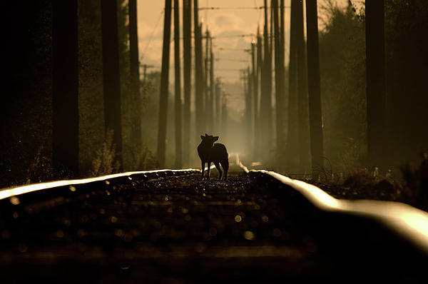 on-the-tracks-of-a-coyote-martin-cooper