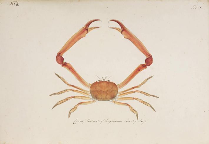 Naturalis_Biodiversity_Center_-_RMNH.ART.5_-_Carcinoplax_longimana_(De_Haan,_1833)_-_Kawahara_Keiga